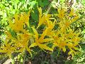 Golden Hurricane Lily / Lycoris africana