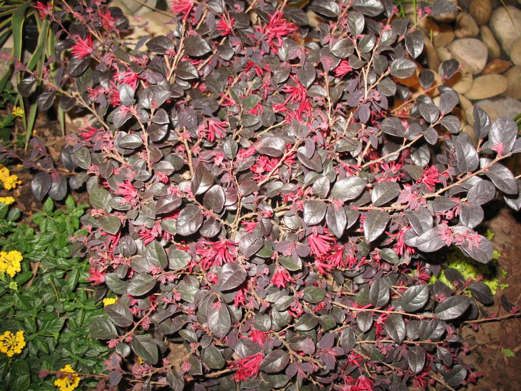 Loropetalum chinense Chang Nian Hong    / Ever Red Purple-leaf Loropetalum