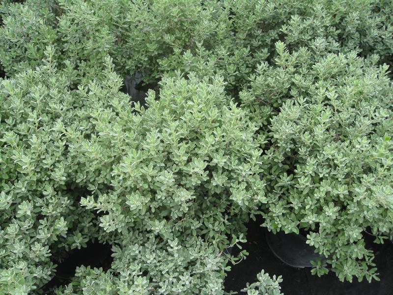 Leucophyllum frutescens 'Greado' / Leucophyllum frutescens 'Greado'