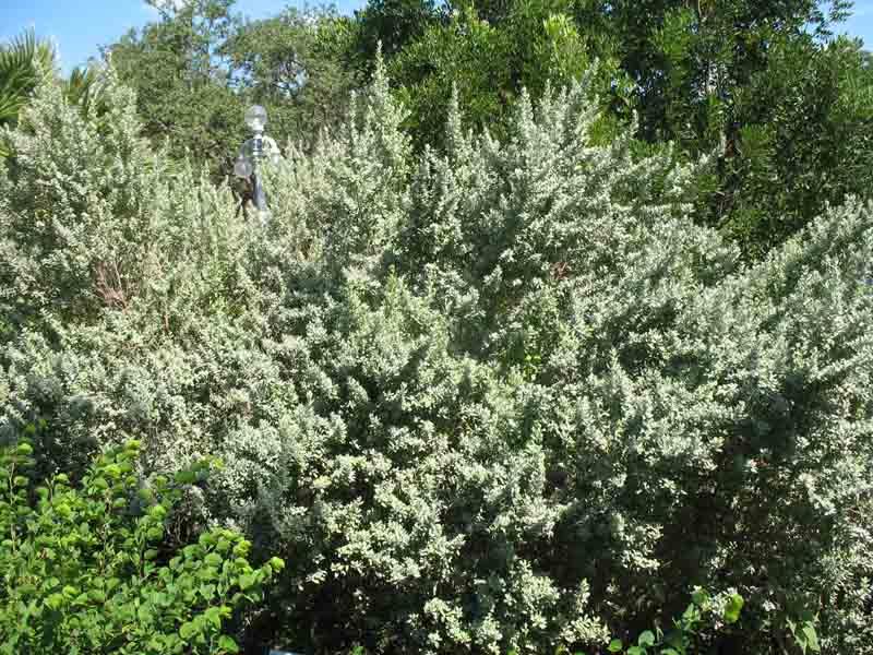 Leucophyllum frutescens 'Silverado'   / Texas Silverado Sage