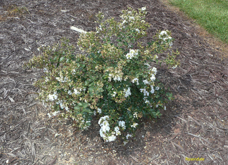 Lagerstroemia indica 'Early Bird White' / Lagerstroemia indica 'Early Bird White'