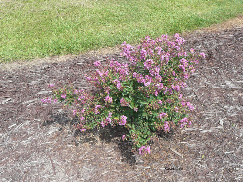 Lagerstromeia indica 'Early Bird  Purple' / Lagerstromeia indica 'Early Bird  Purple'