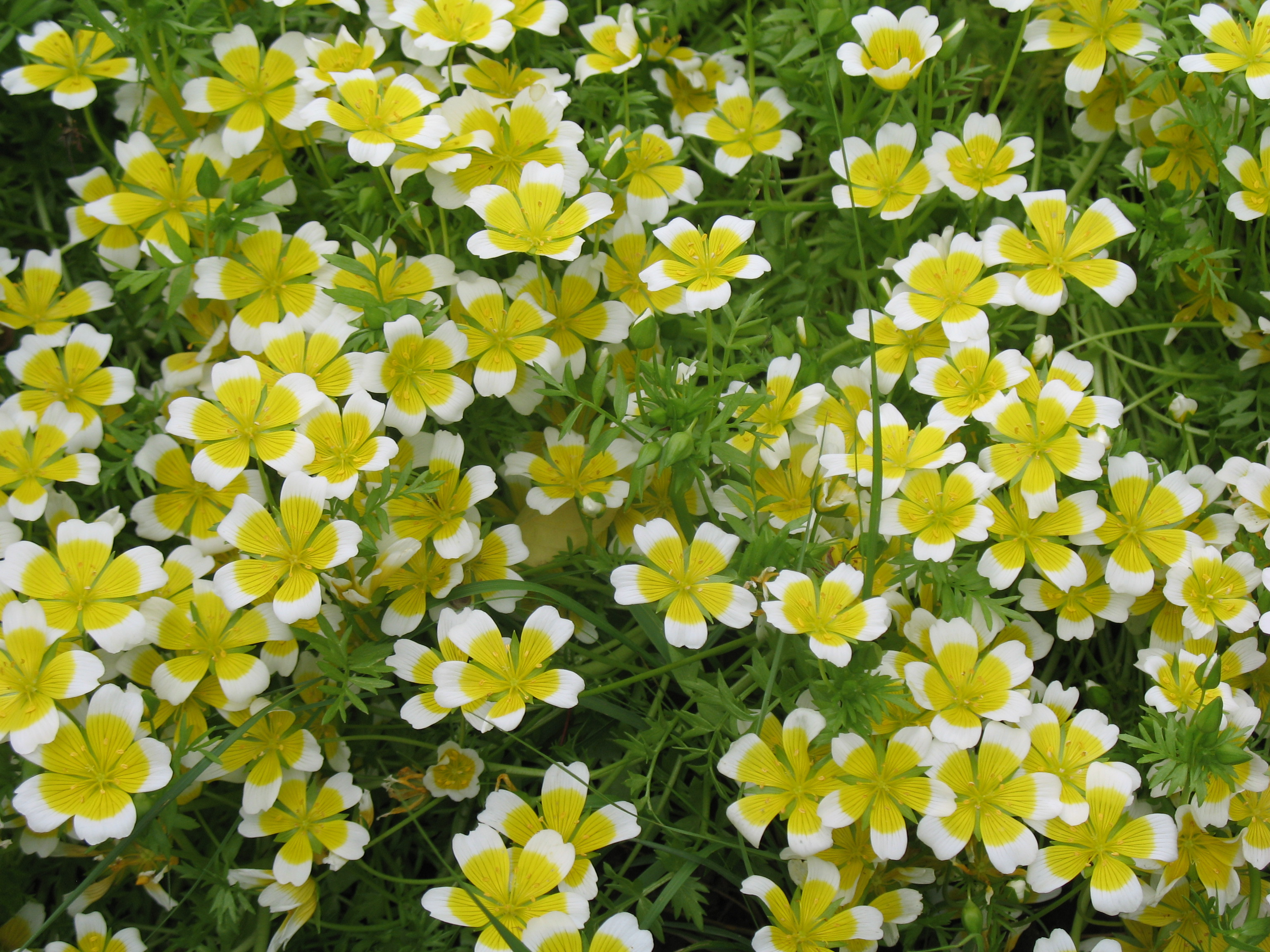 Limnanthes douglasii / Limnanthes douglasii