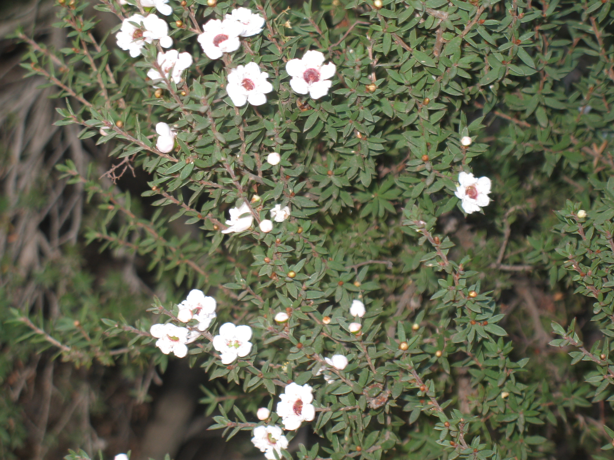 Leptospermum scoparium 'Snow White'  / Leptospermum scoparium 'Snow White'