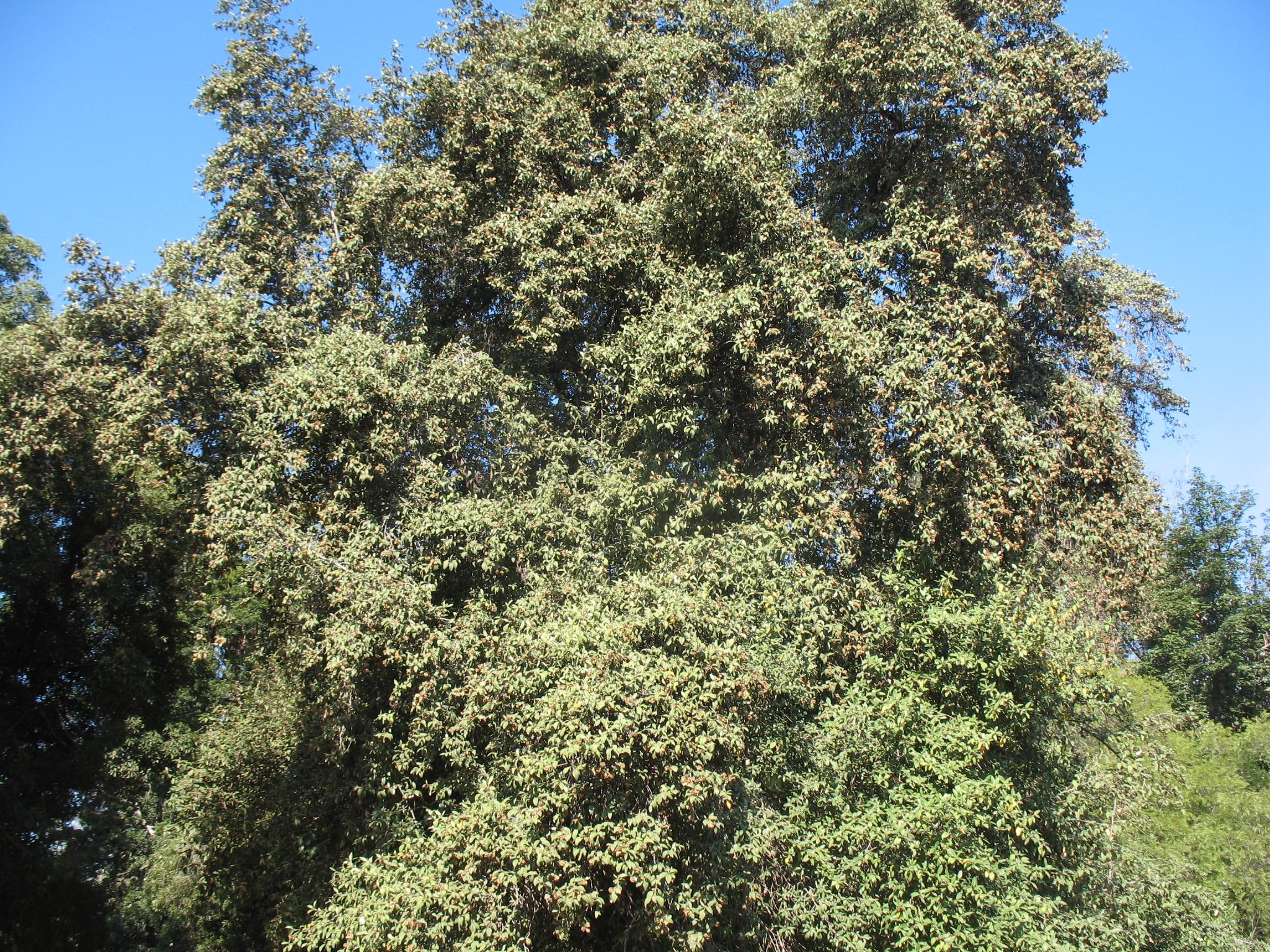 Lagunaria patersonii / Lagunaria patersonii