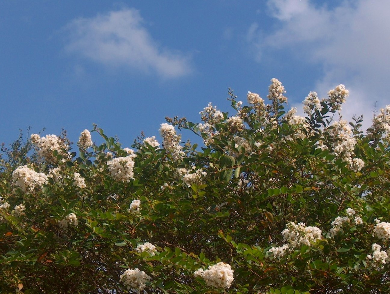 Lagerstroemia indica 'Byer's Wonderful White'  / Lagerstroemia indica 'Byer's Wonderful White'
