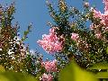Cotton Candy Crape Myrtle / Lagerstroemia indica