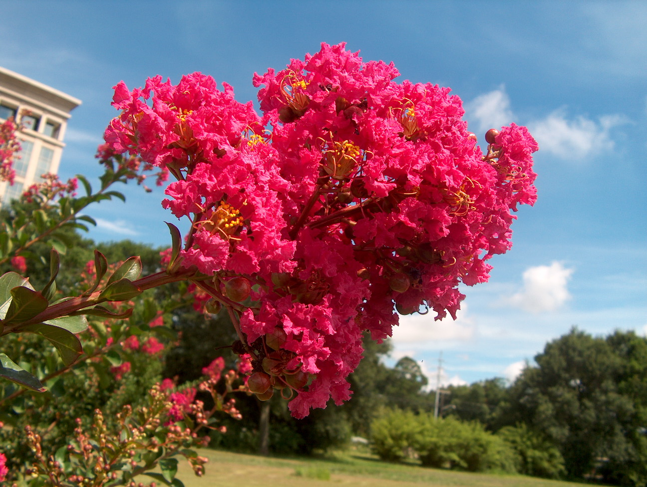 Lagerstroemia indica 'Country Red'  / Lagerstroemia indica 'Country Red'