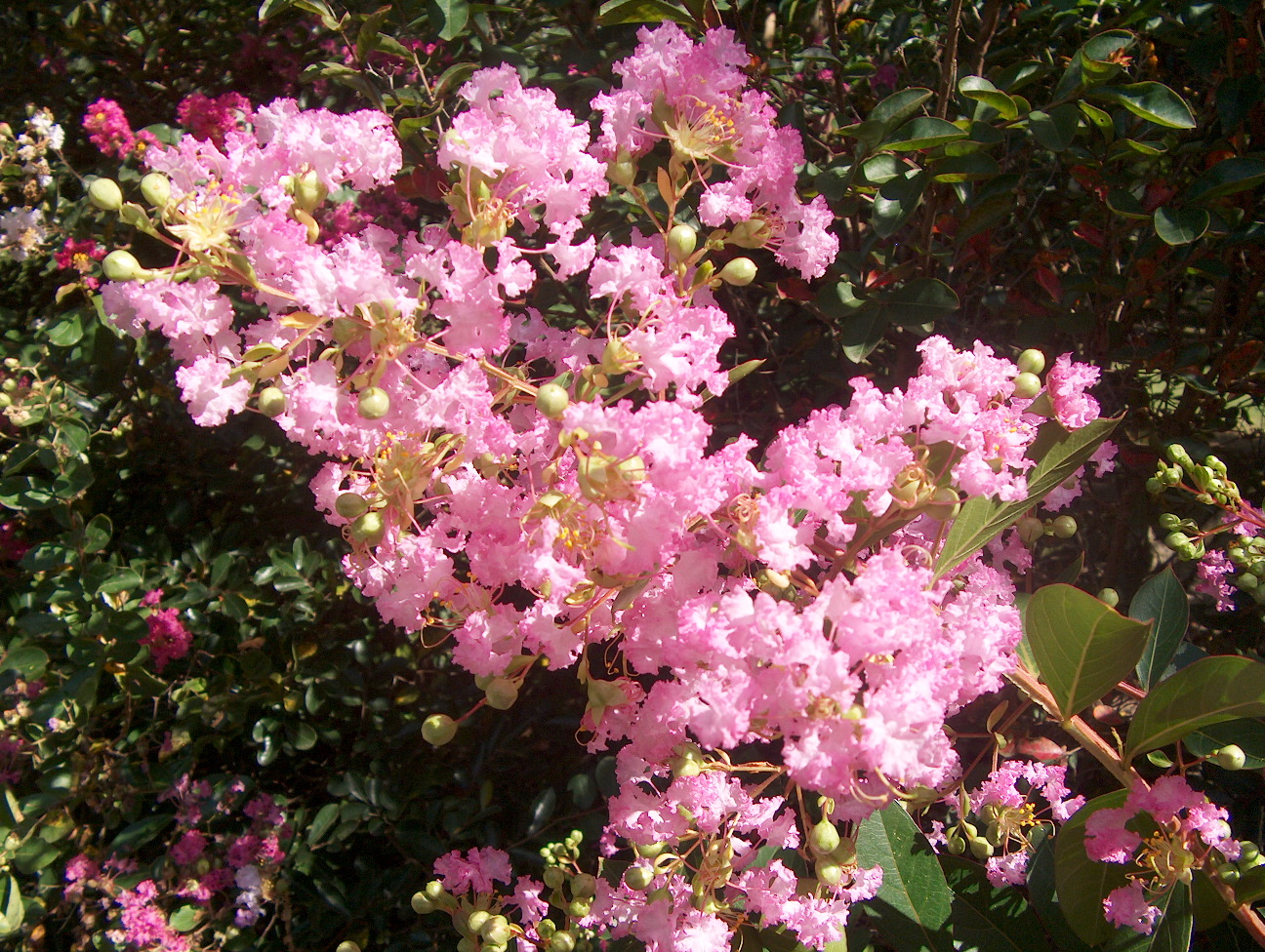 Lagerstroemia indica 'Delta Blush'  / Lagerstroemia indica 'Delta Blush'