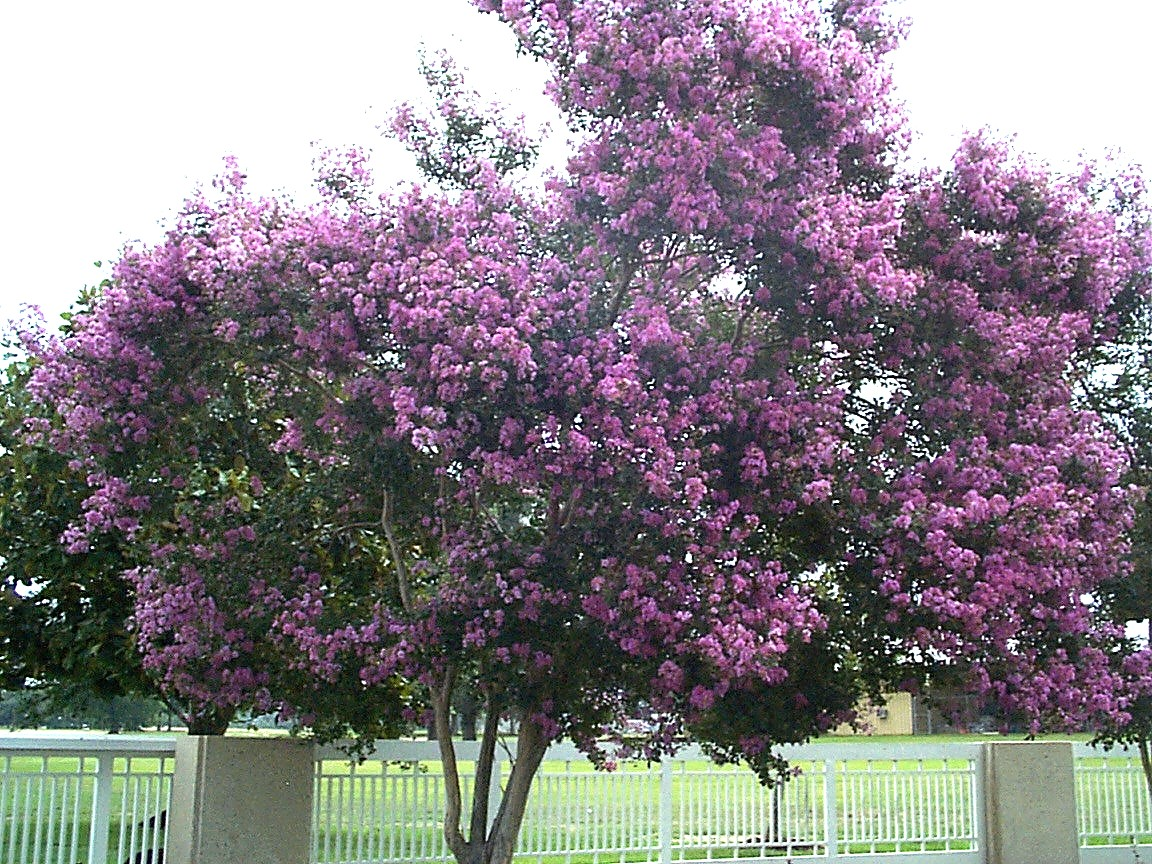 Lagerstroemia indica 'Hardy Lavender' / Lagerstroemia indica 'Hardy Lavender'