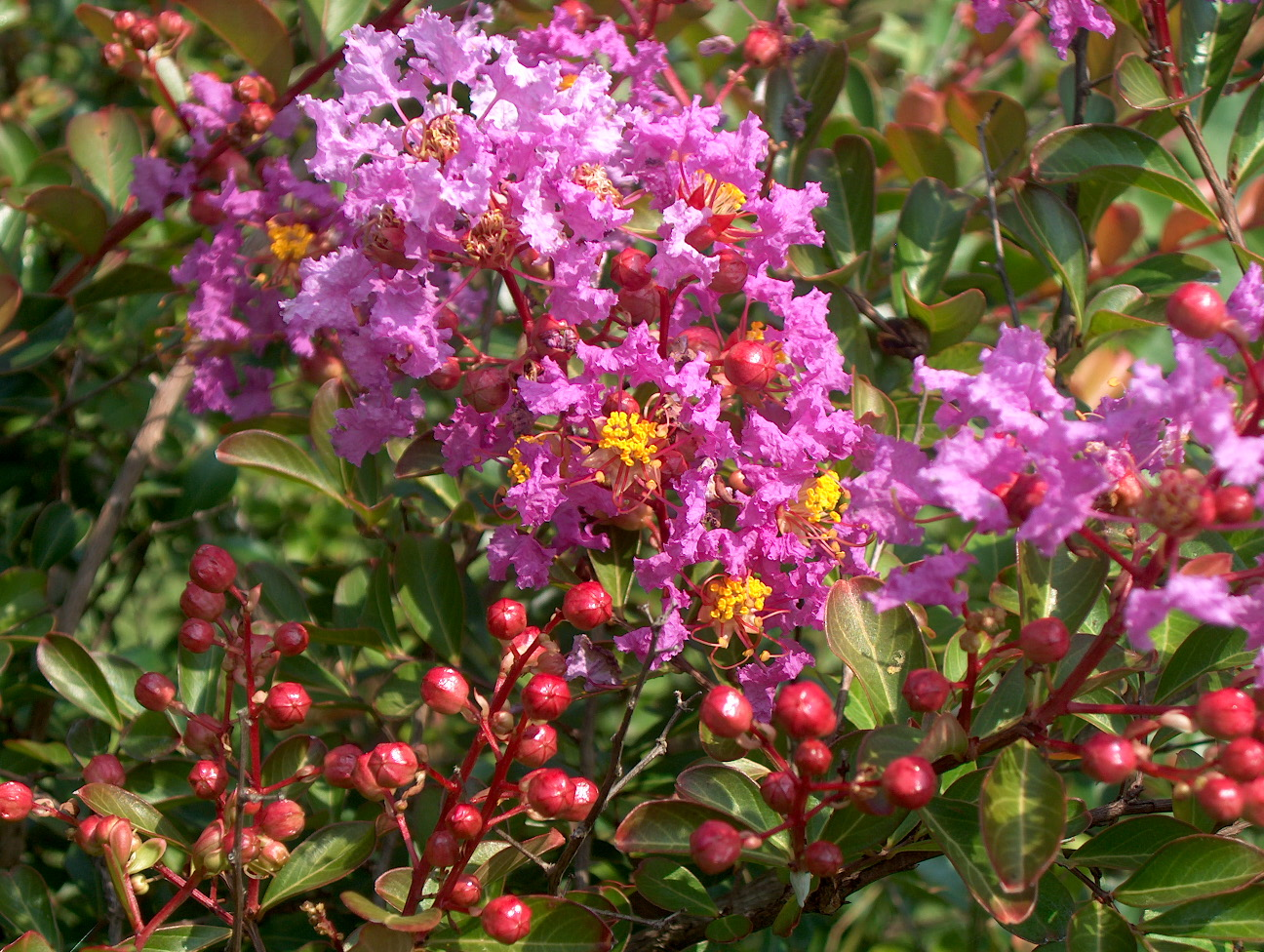 Lagerstroemia indica 'New Orleans'  / Lagerstroemia indica 'New Orleans'