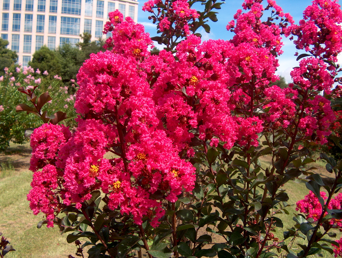 Lagerstroemia indica 'Pink Velour' / Lagerstroemia indica 'Pink Velour'