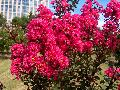Pink Velour Crape Myrtle / Lagerstroemia indica