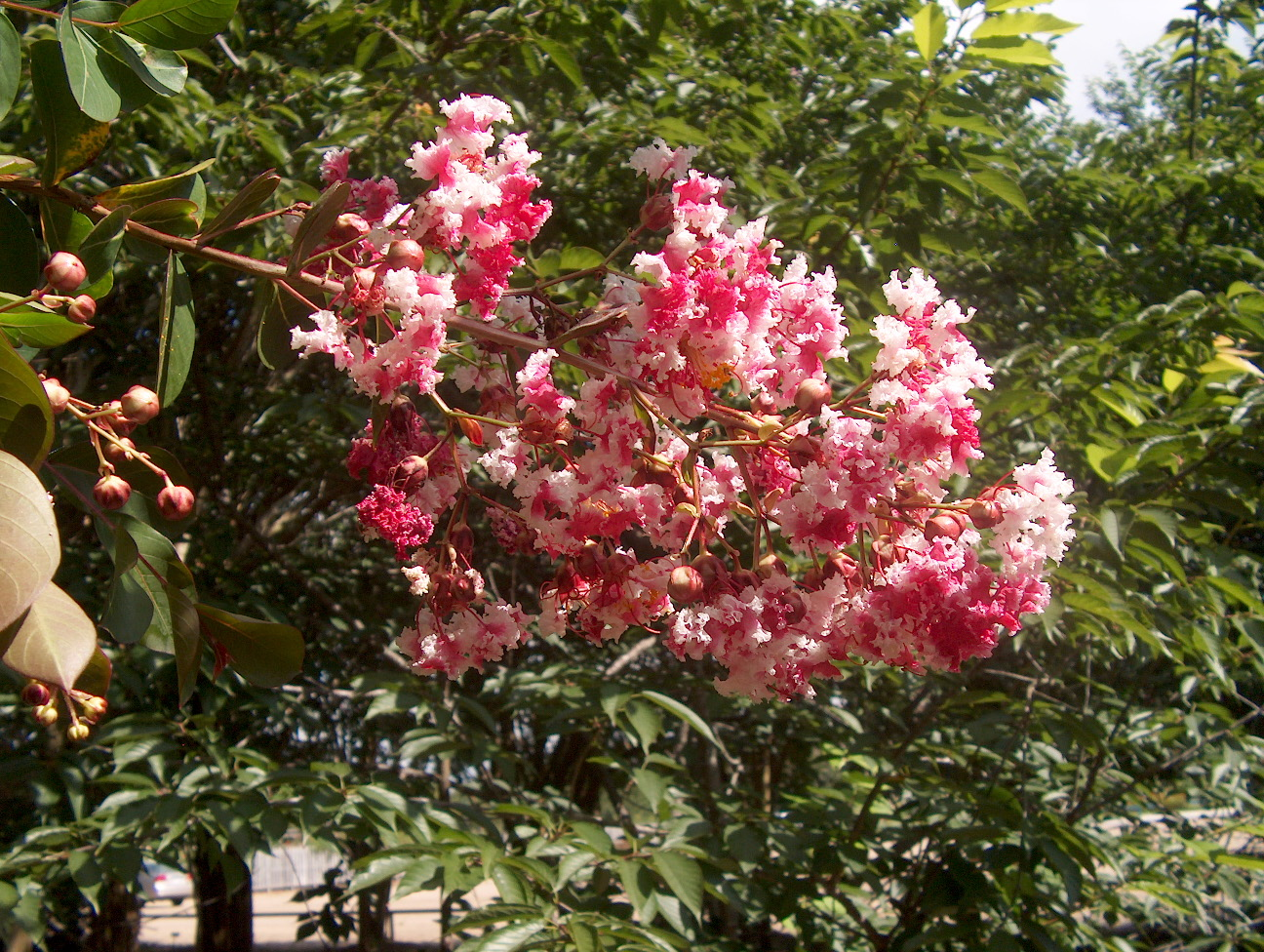 Lagerstroemia indica 'Prairie Lace' / Lagerstroemia indica 'Prairie Lace'