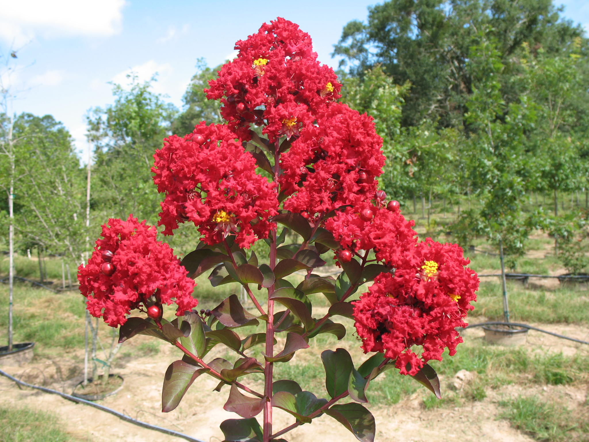 Lagerstroemia indica 'Siren Red'  / Lagerstroemia indica 'Siren Red'