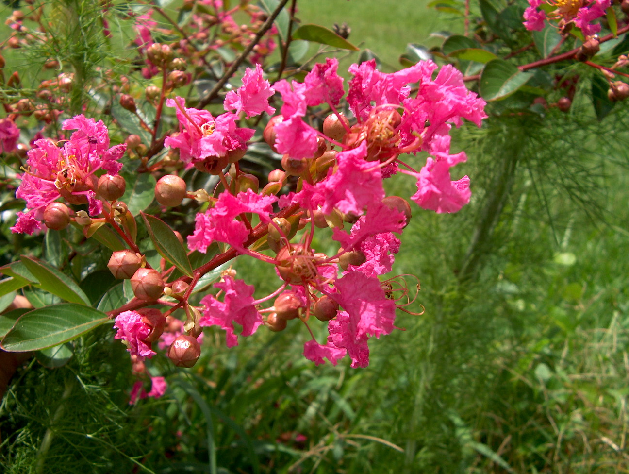 Lagerstroemia indica 'World's Fair' / Lagerstroemia indica 'World's Fair'