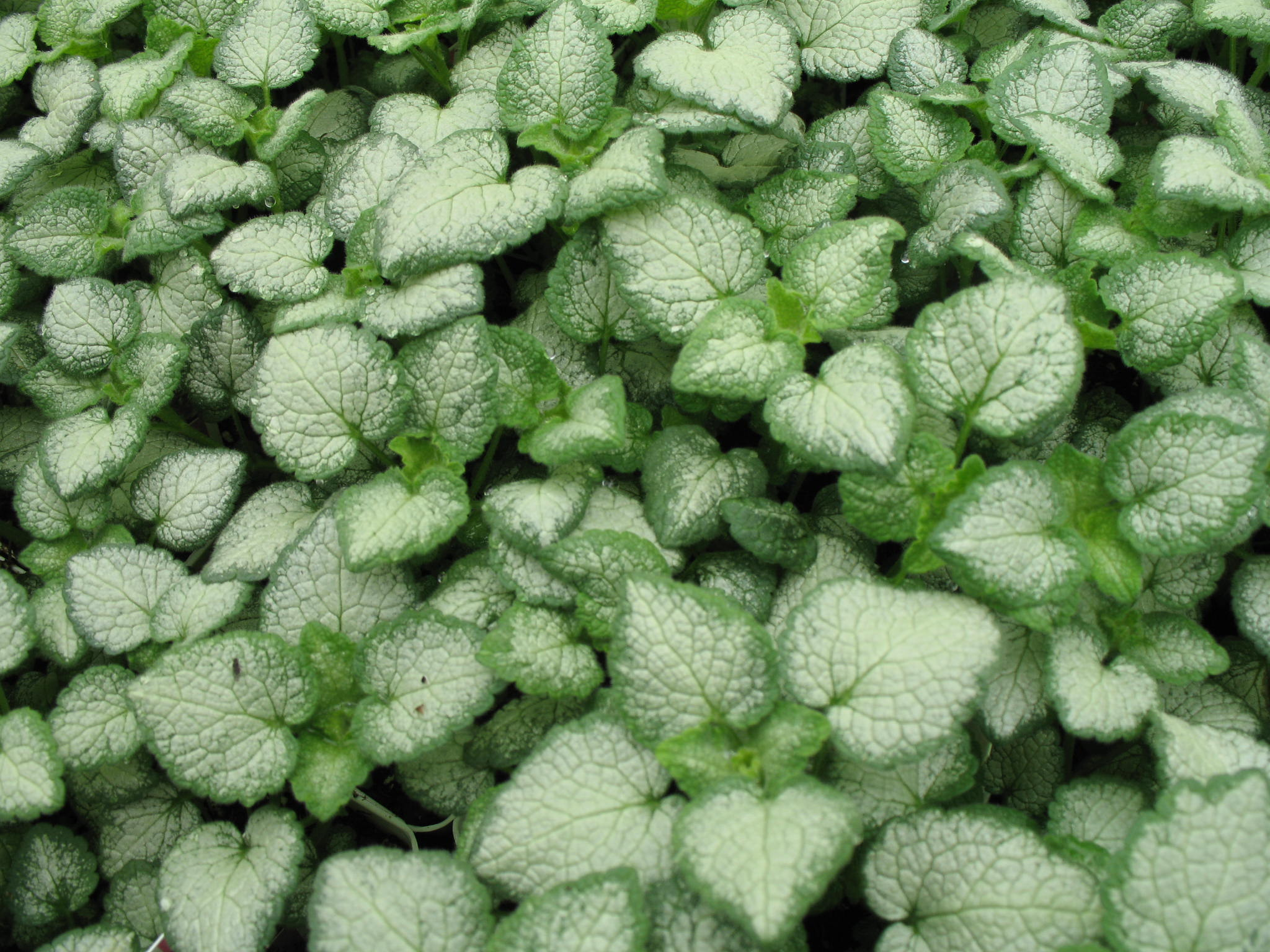 Lamium maculatum 'White Nancy'   / Lamium maculatum 'White Nancy'