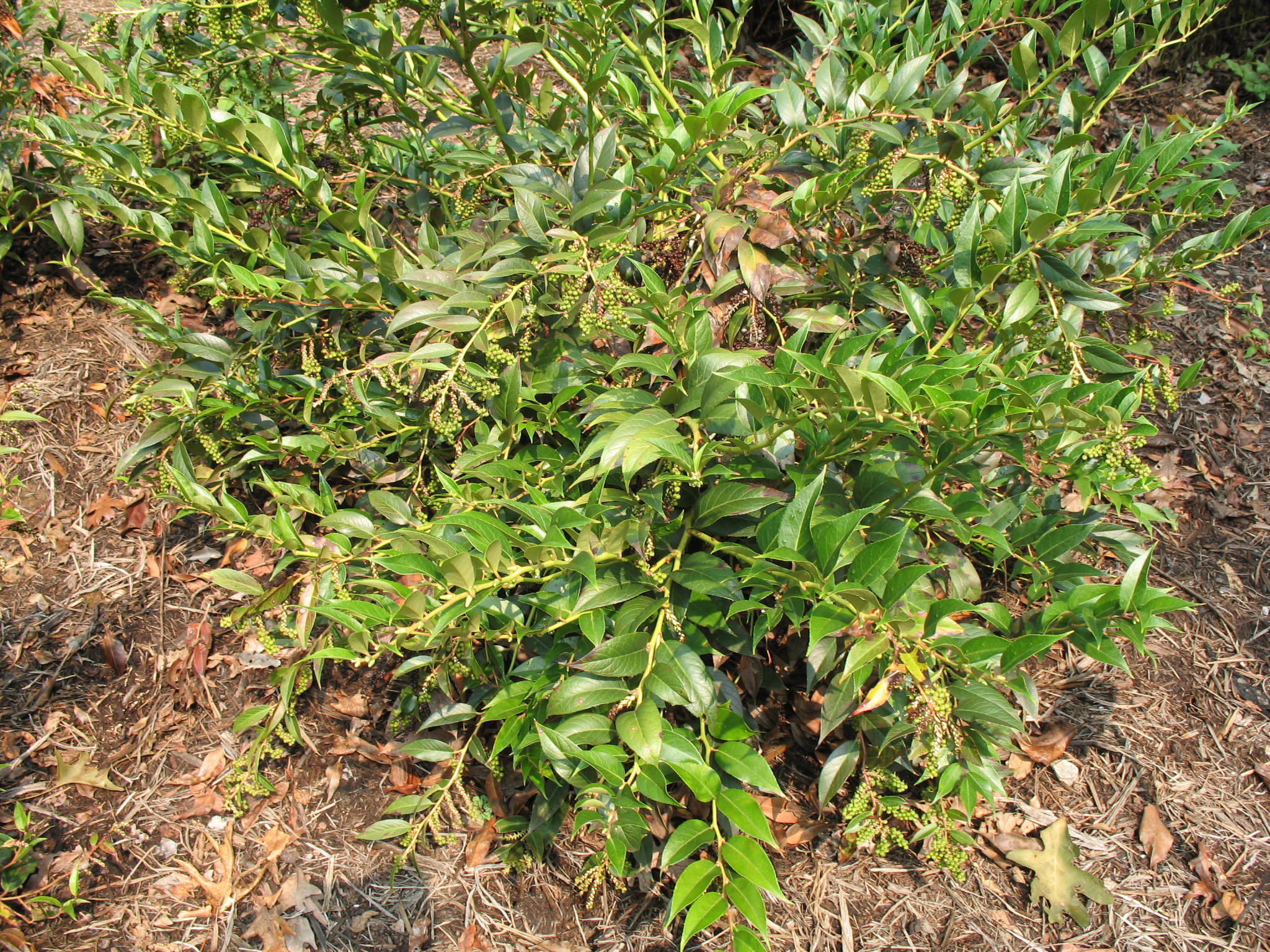Online plant guide leucothoe editorum doghobble for Low maintenance evergreen shrubs
