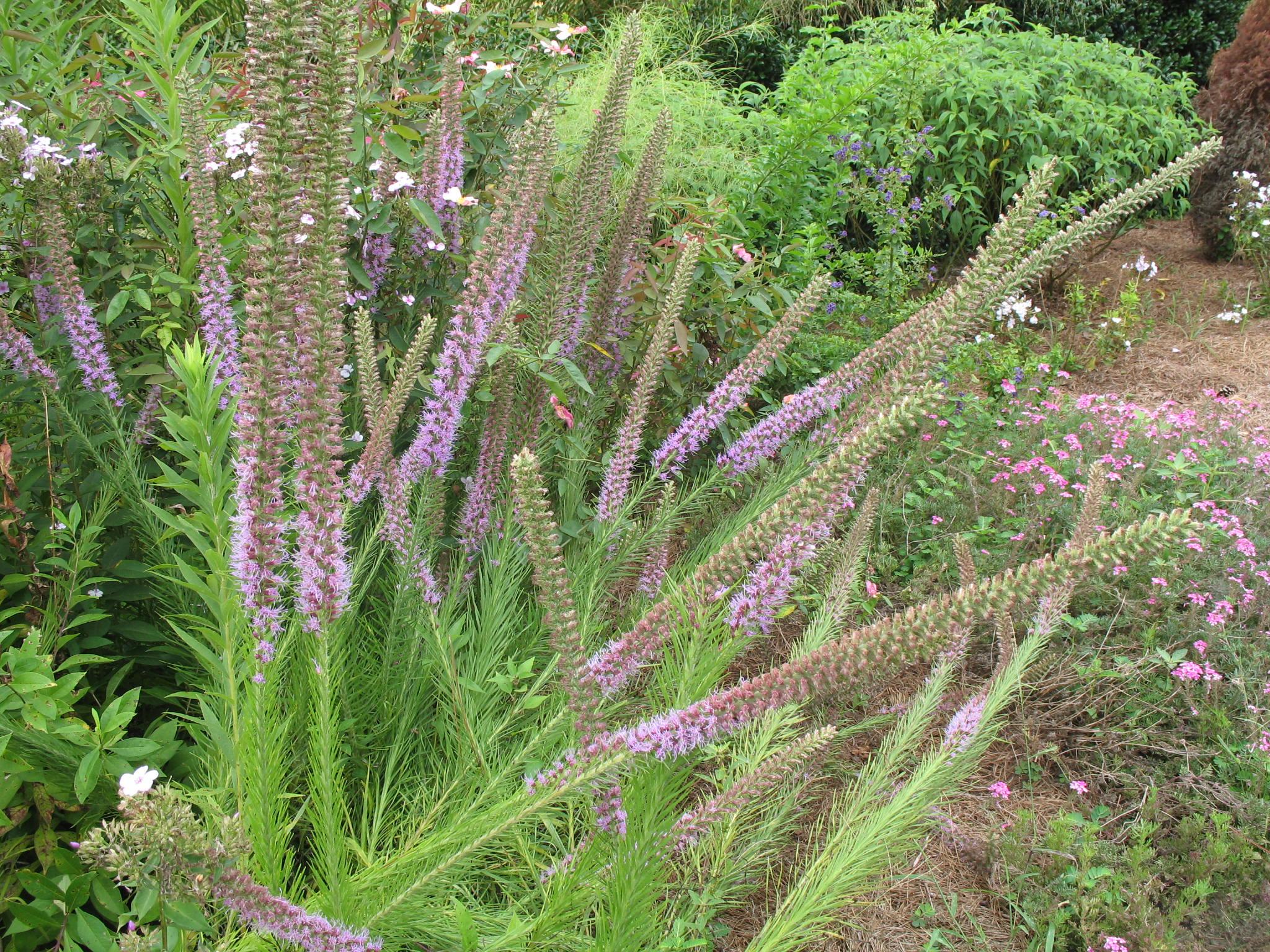 Liatris spicata / Liatris spicata