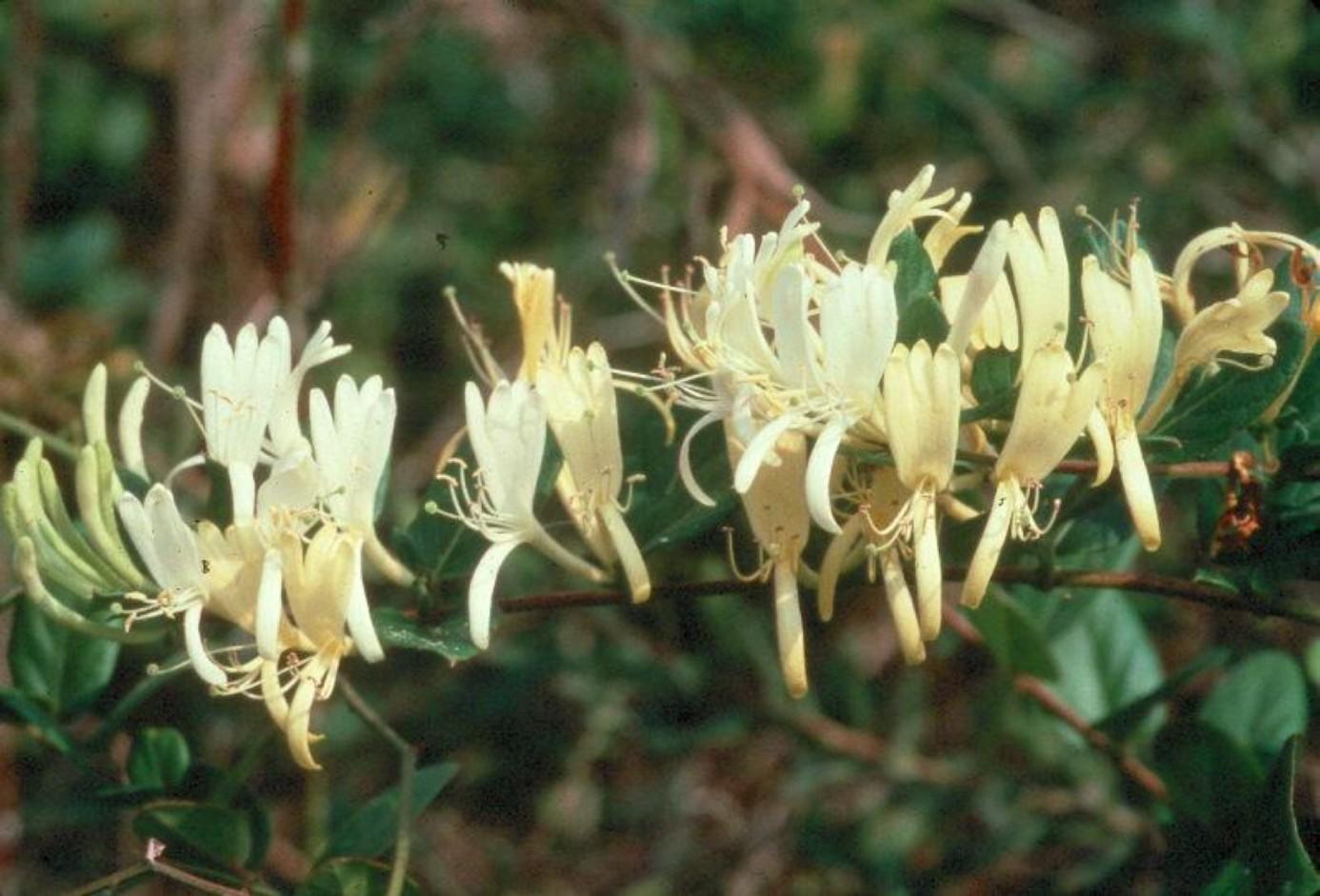 Lonicera japonica / Lonicera japonica