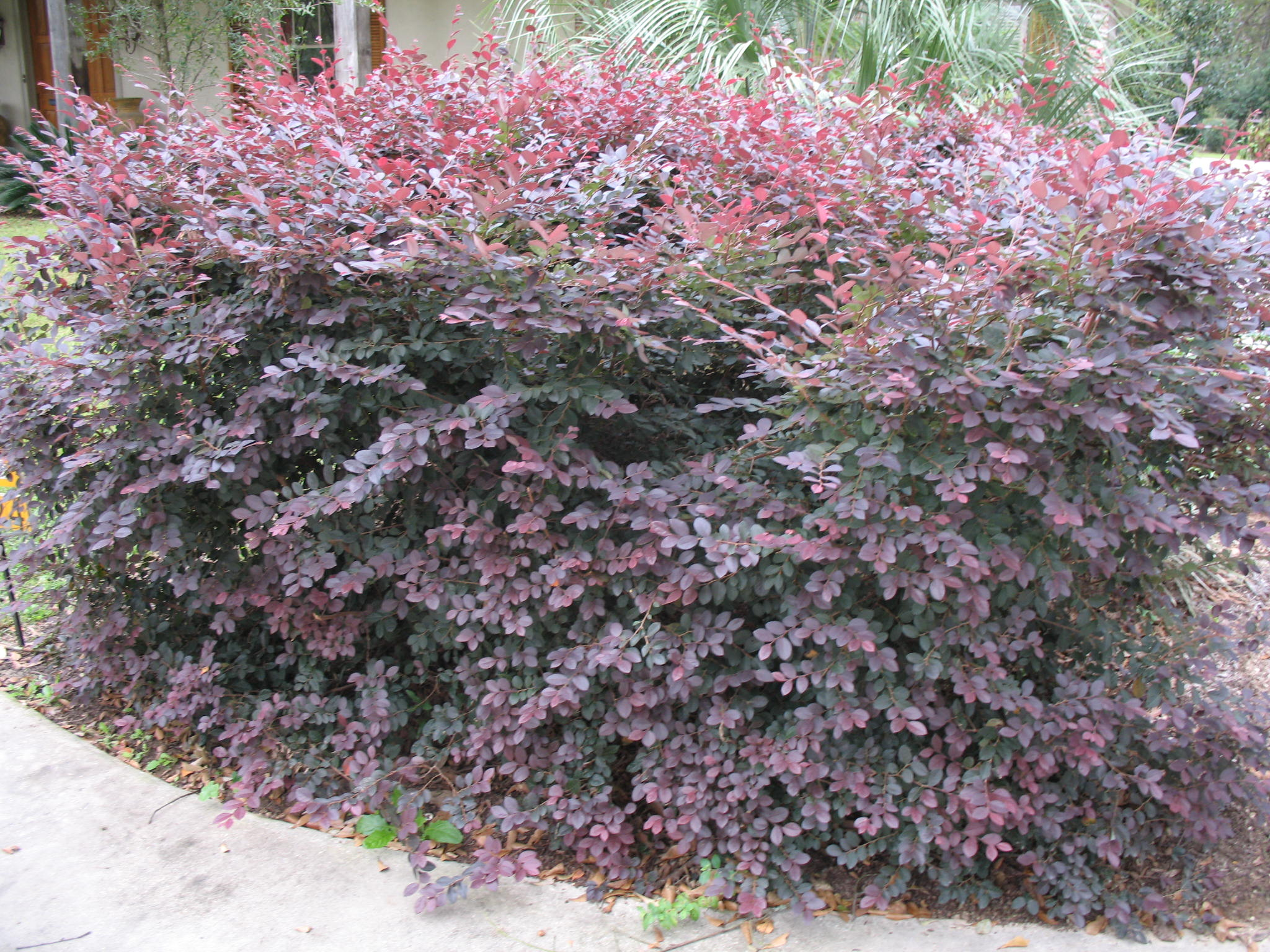 Loropetalum chinense 'Plum Delight'   / Loropetalum chinense 'Plum Delight'