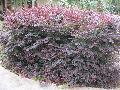 Plum Delight Loropetalum / Loropetalum chinense