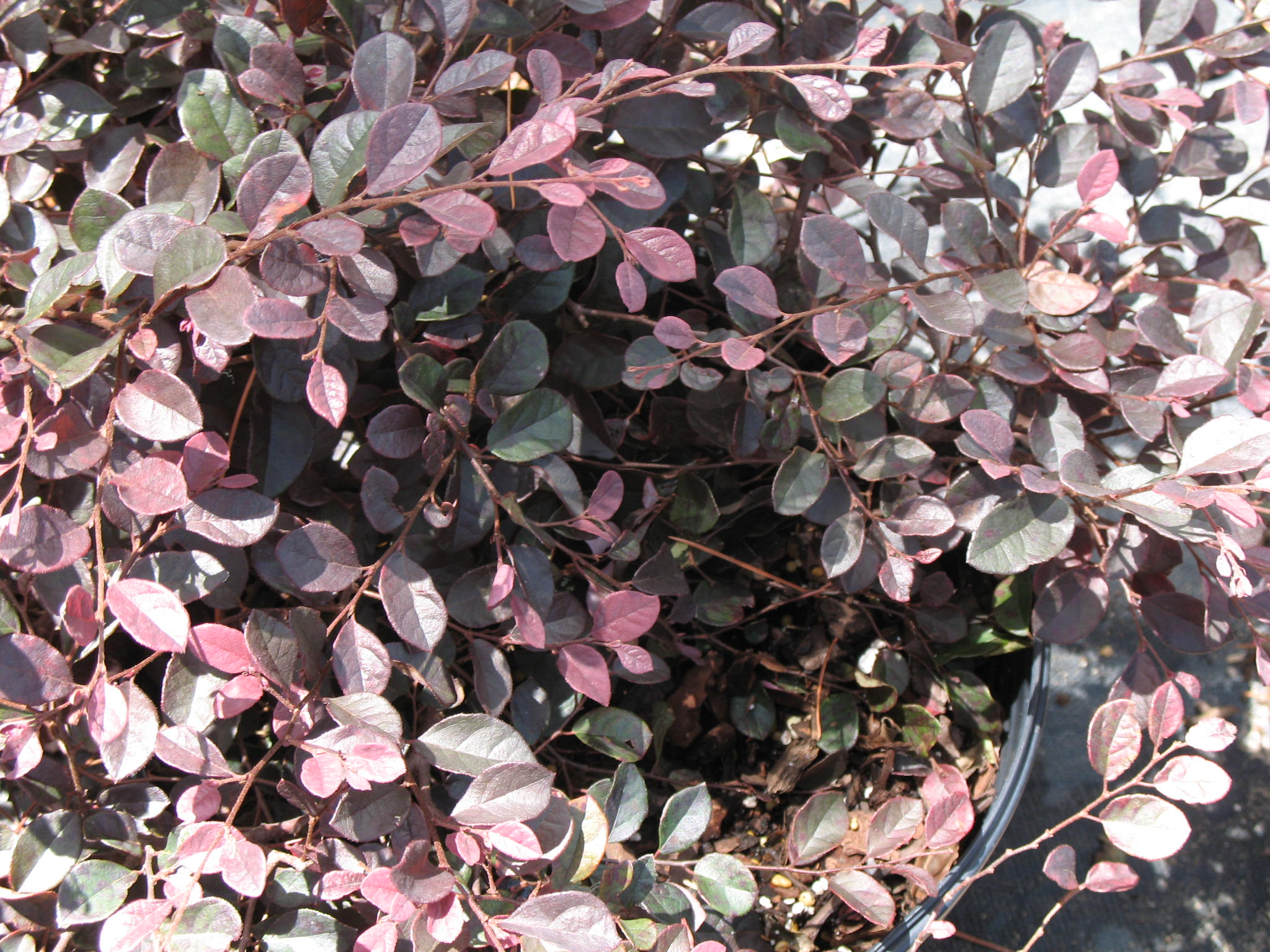 Loropetalum chinense 'Purple Diamond'   / Loropetalum chinense 'Purple Diamond'