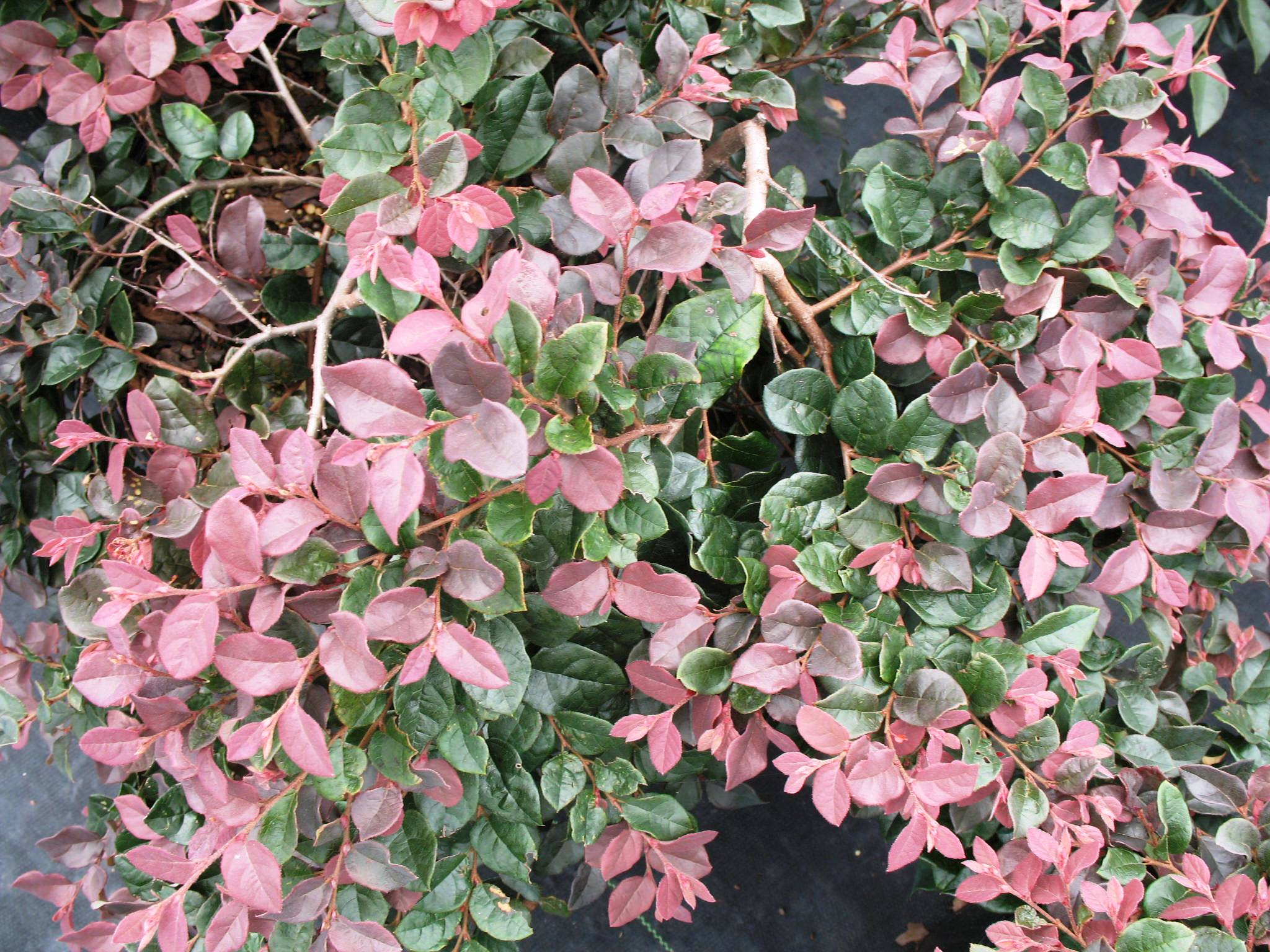 Loropetalum chinense 'Ruby'   / Loropetalum chinense 'Ruby'