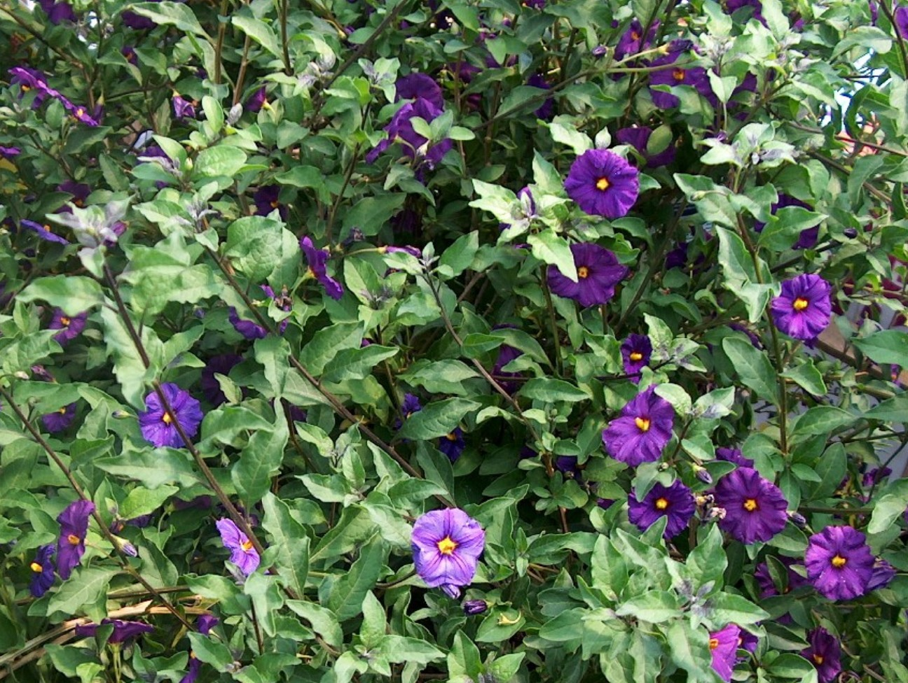 Online plant guide lycianthes rantonnetii royal robe blue lycianthes rantonnetii royal robe lycianthes rantonnetii royal robe attractive purple flowers and foliage mightylinksfo