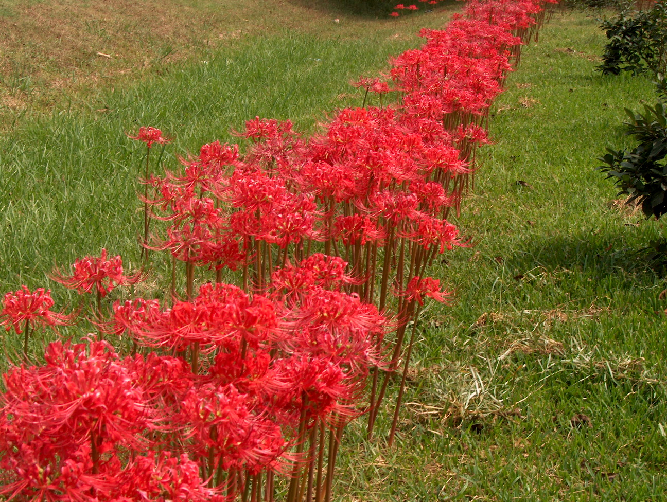 Lycoris radiata / Lycoris radiata