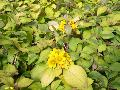 Yellow Creeping Jenny / Lysimachia procumbens