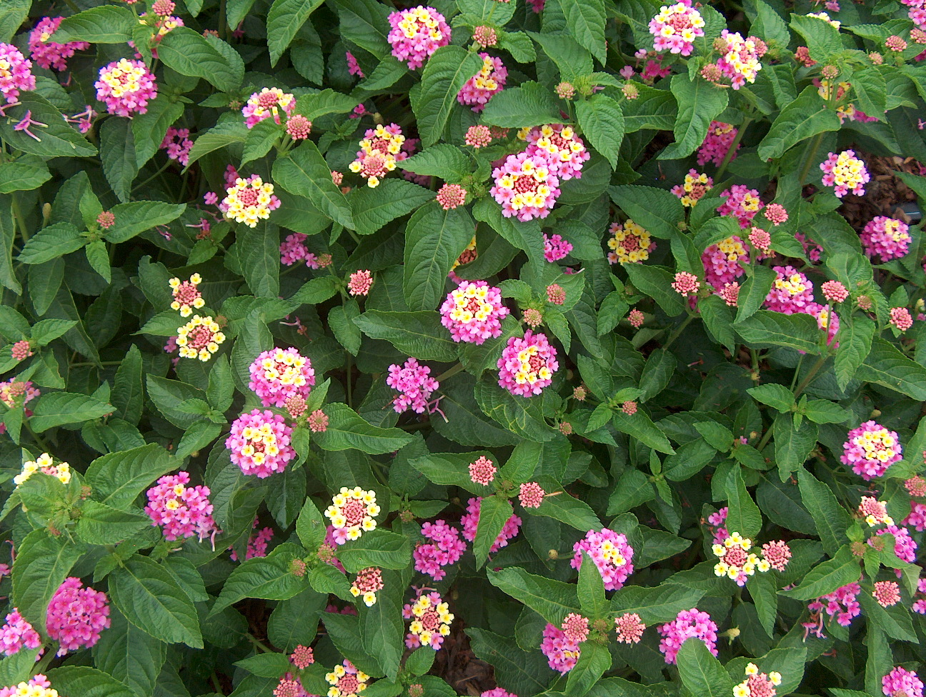 Lantana camara 'Landmark Rose Glow Improved' / Lantana camara 'Landmark Rose Glow Improved'