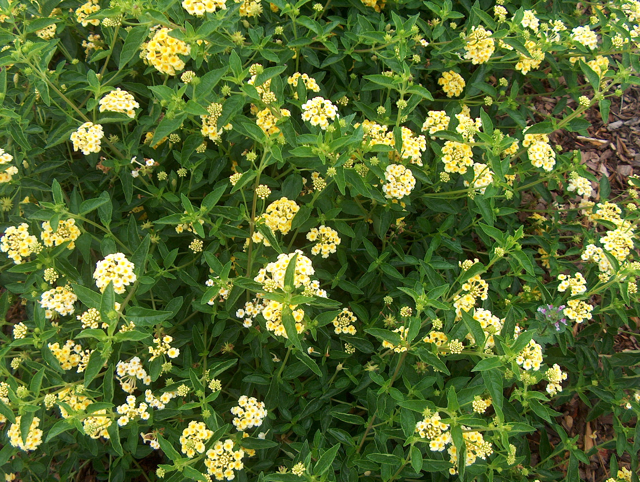 Lantana camara 'Patriot Jo's Chief' / Lantana camara 'Patriot Jo's Chief'