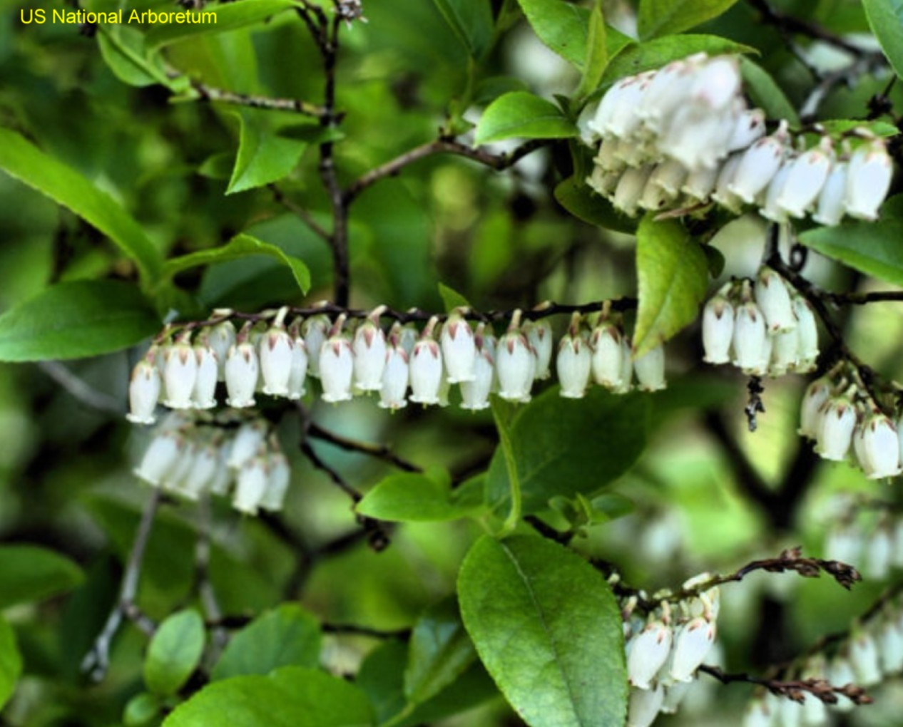 Online Plant Guide Leucothoe Racemosa Swamp Sweetbells