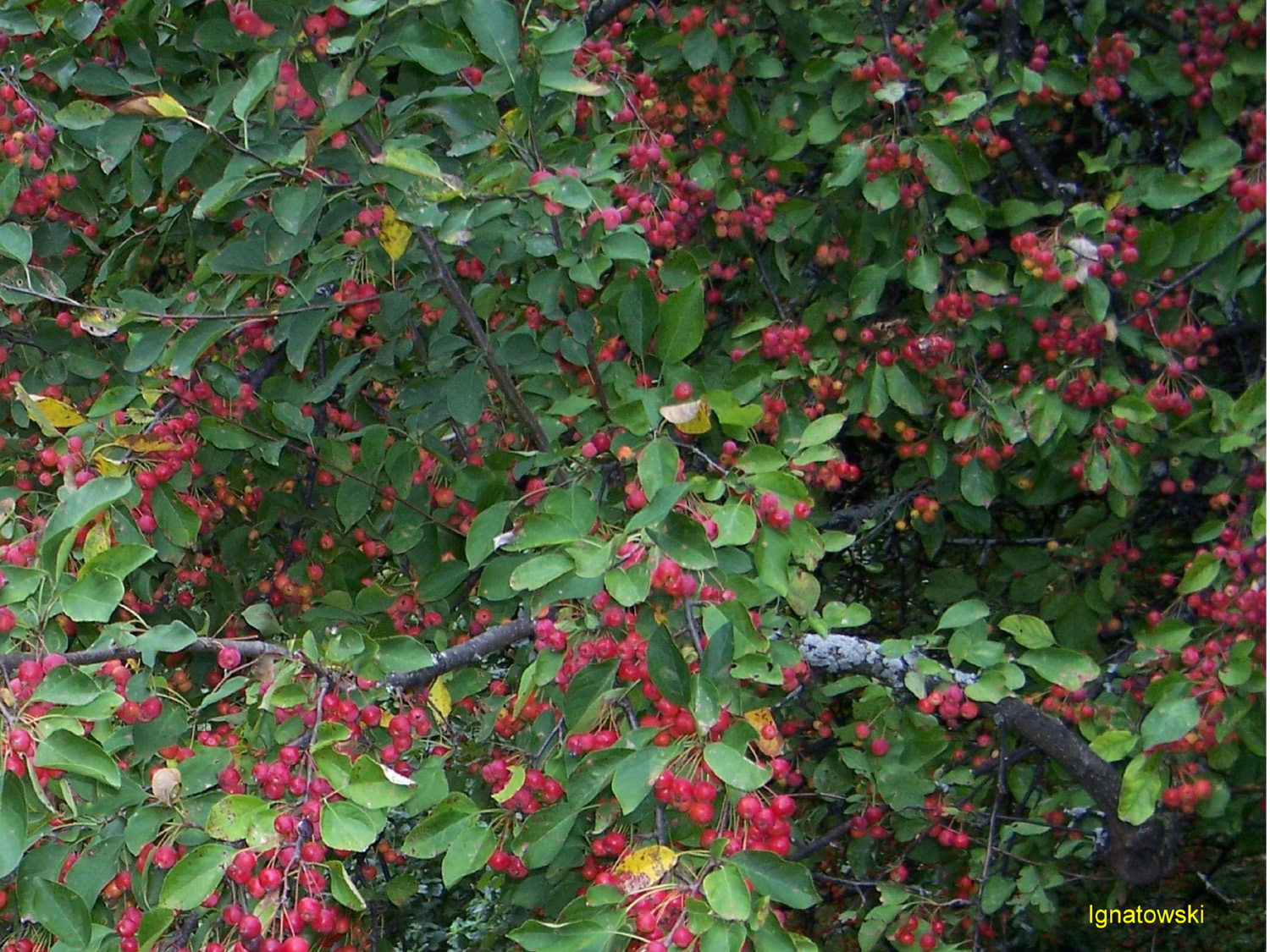 Malus 'Beverly' / Malus 'Beverly'