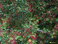 Beverly Crabapple / Malus