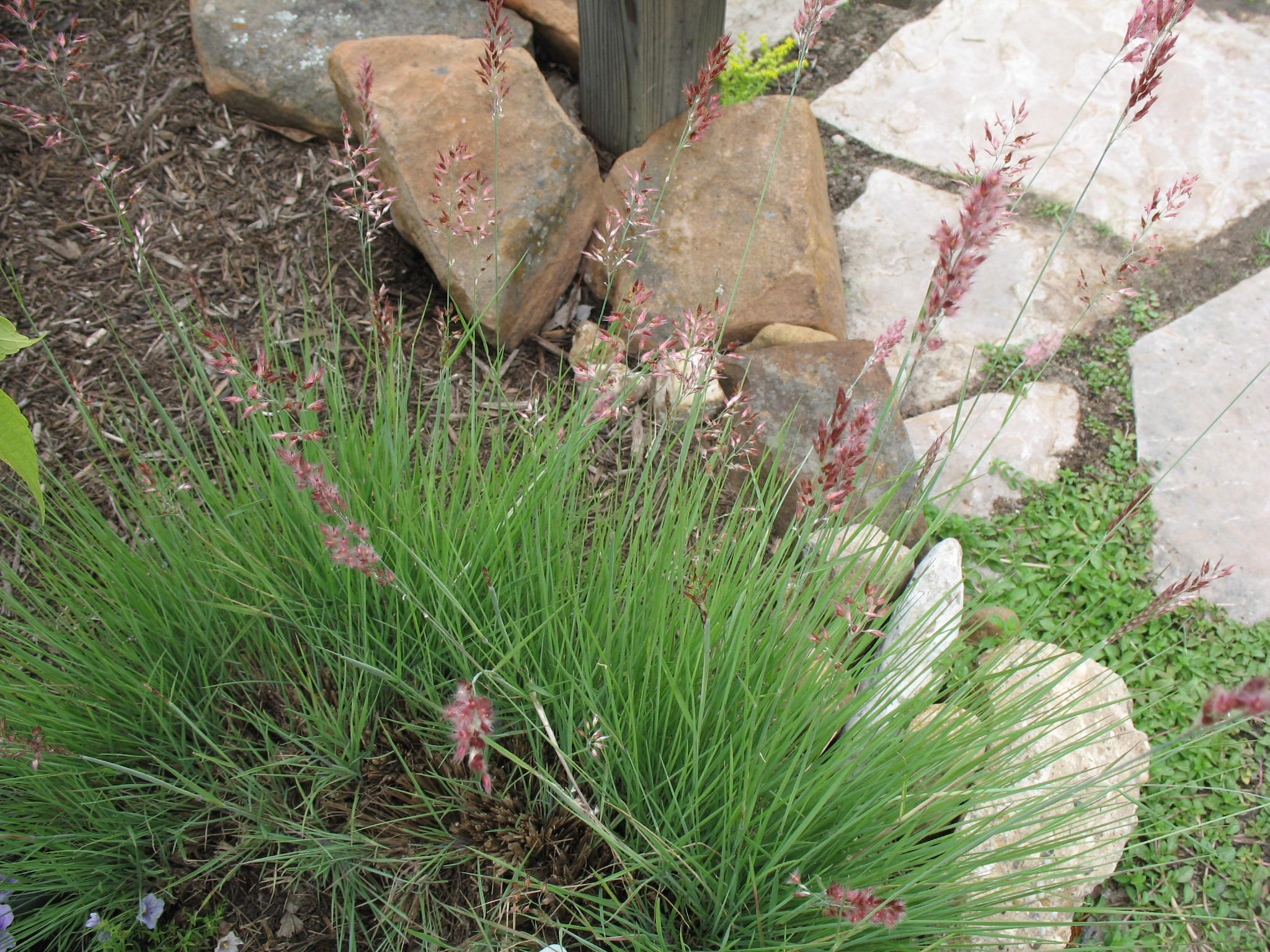 Melinis nerviglumis 'Pink Crystals'  / Ruby Grass