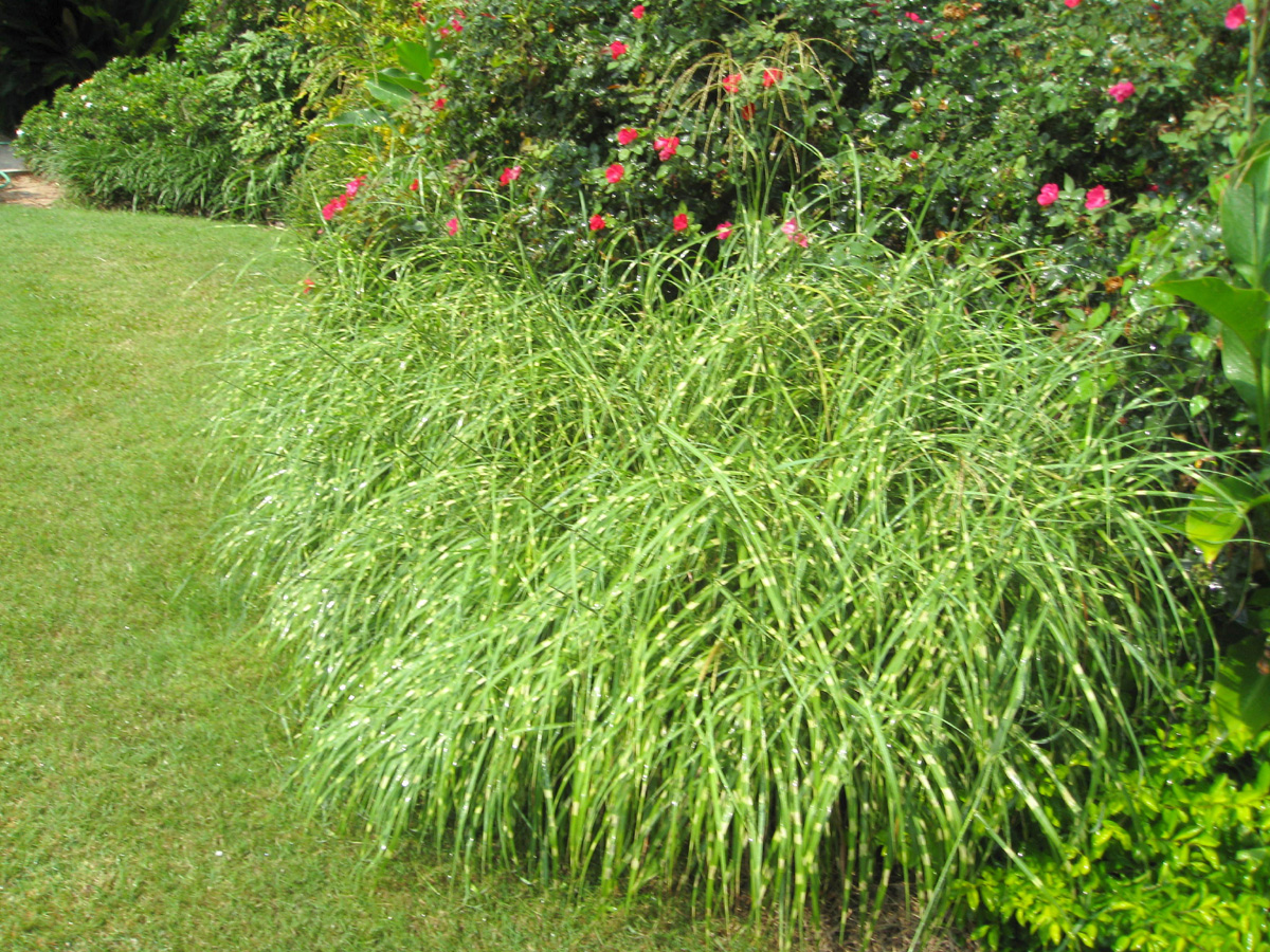 Miscanthus sinensis 'Dixieland'  / Miscanthus sinensis 'Dixieland'
