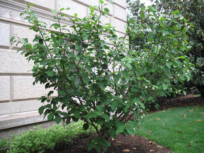 Magnolia sieboldii    / Magnolia sieboldii