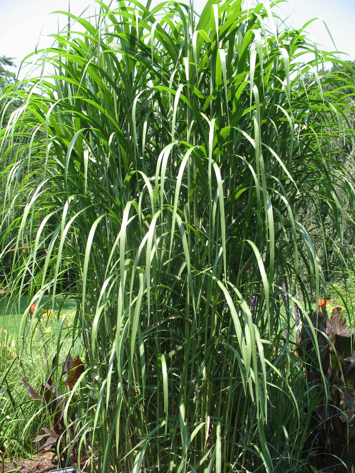 Online plant guide miscanthus floridulus pacific for Giant ornamental grass