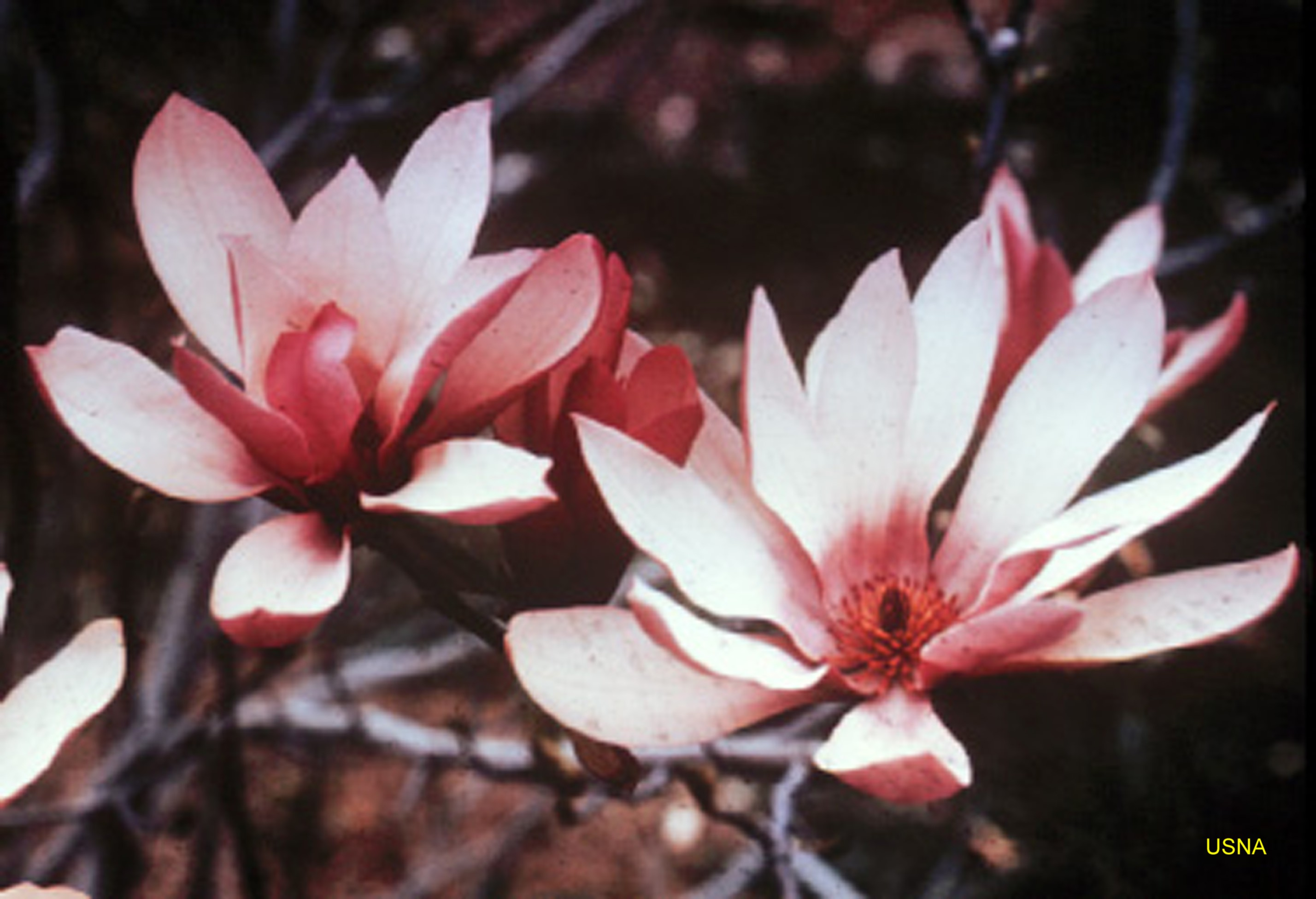Magnolia 'Judy'  / Judy Magnolia
