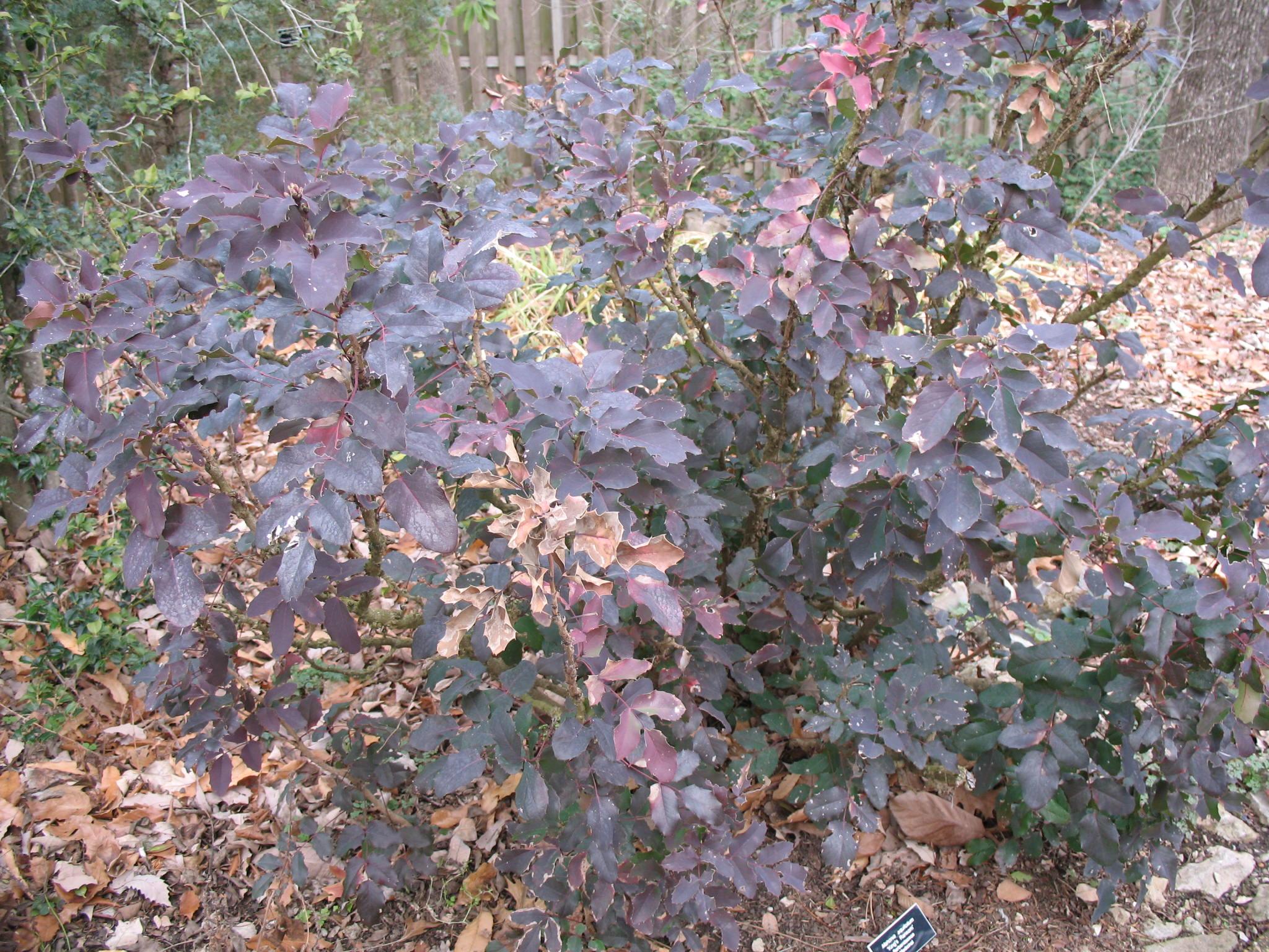 Mahonia aquifolium 'King's Ransom' / Mahonia aquifolium 'King's Ransom'