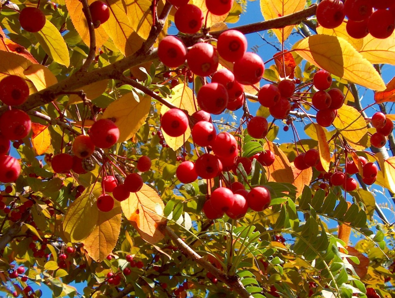 Online plant guide malus 39 robinson 39 robinson crabapple - Planting fruit trees in autumn ...
