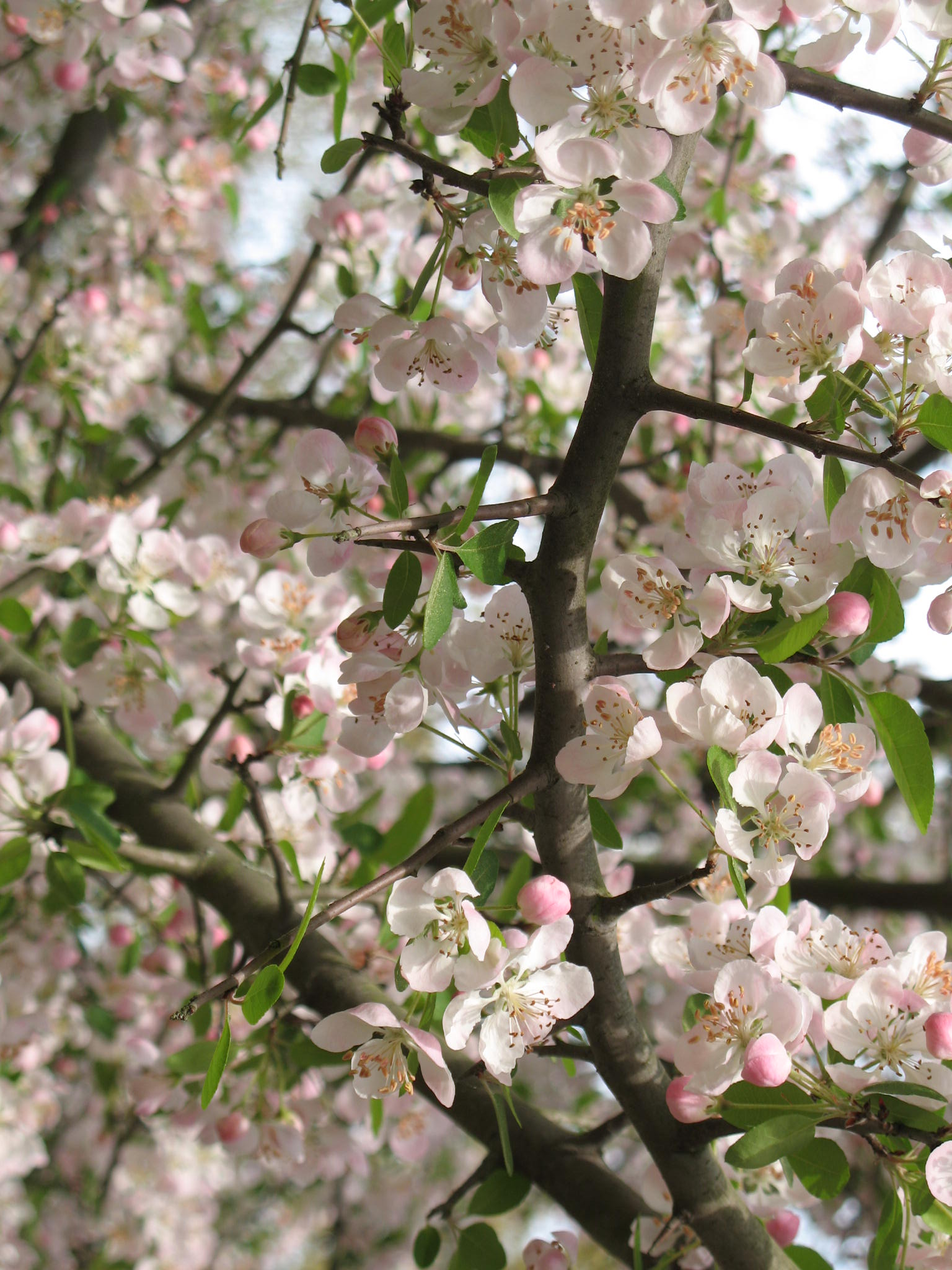 Online plant guide malus angustifolia southern crabapple for Crabapple tree