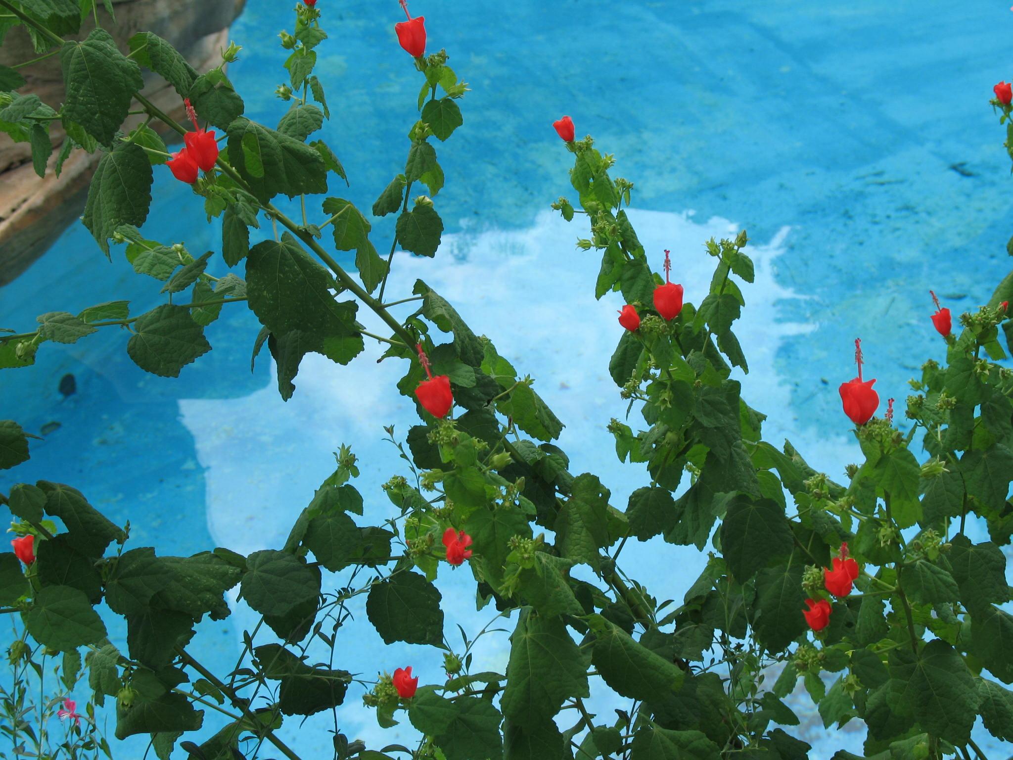 Malvaviscus arboreus var. drummondii  / Malvaviscus arboreus var. drummondii