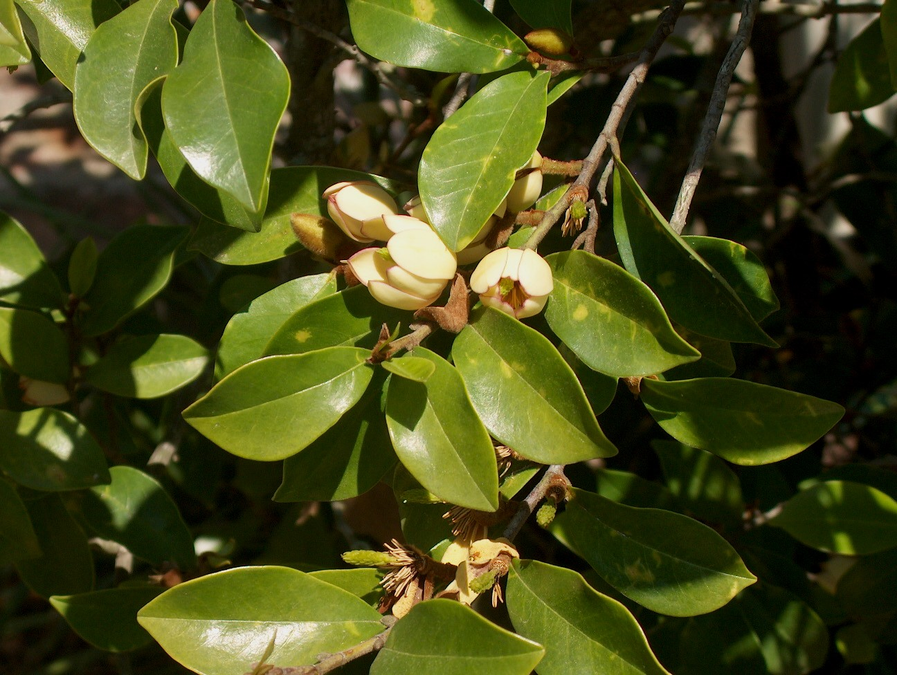 Michelia figo  / Banana Shrub