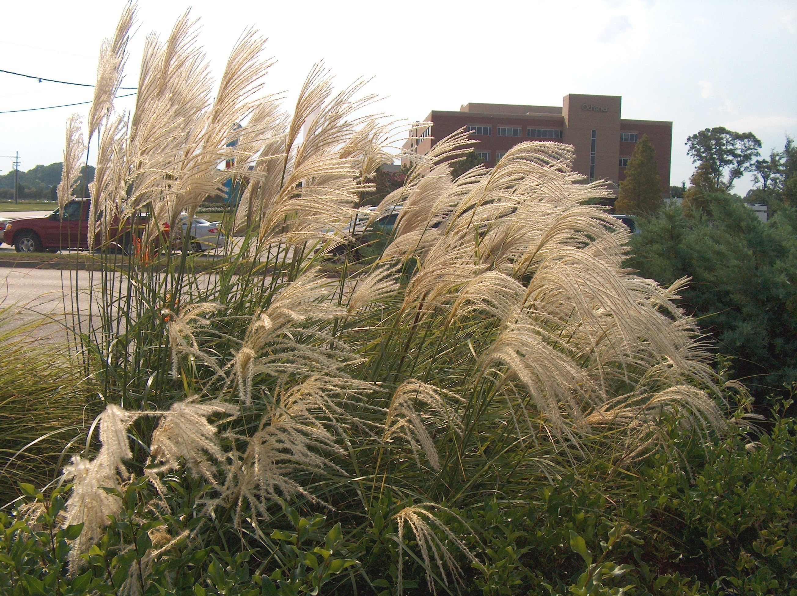 online plant guide miscanthus sinensis 39 gracillimus 39 maiden grass. Black Bedroom Furniture Sets. Home Design Ideas