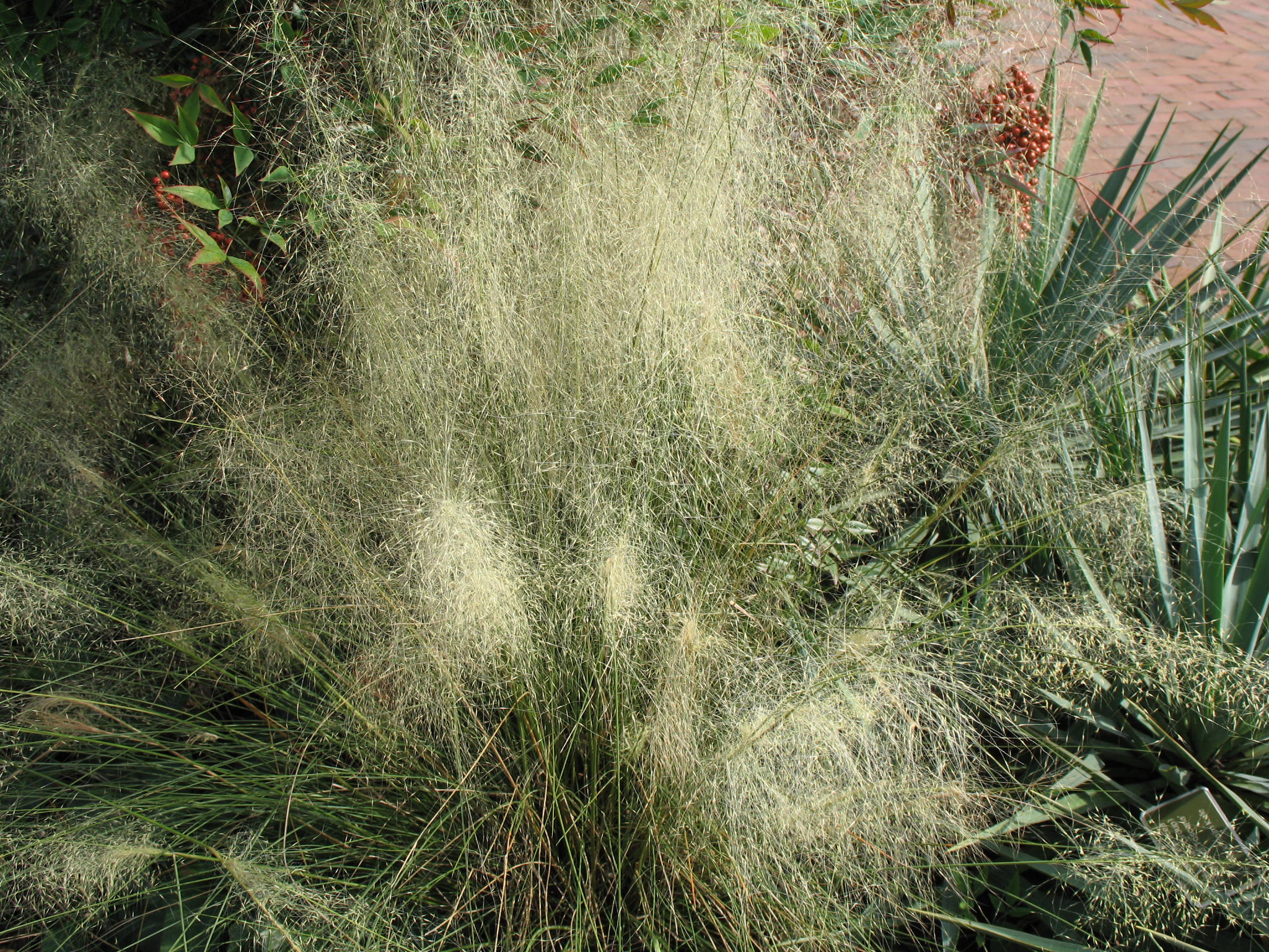 Muhlenbergia capillaris 'White Cloud' / Muhlenbergia capillaris 'White Cloud'