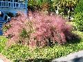 Muhly Grass / Muhlenbergia species