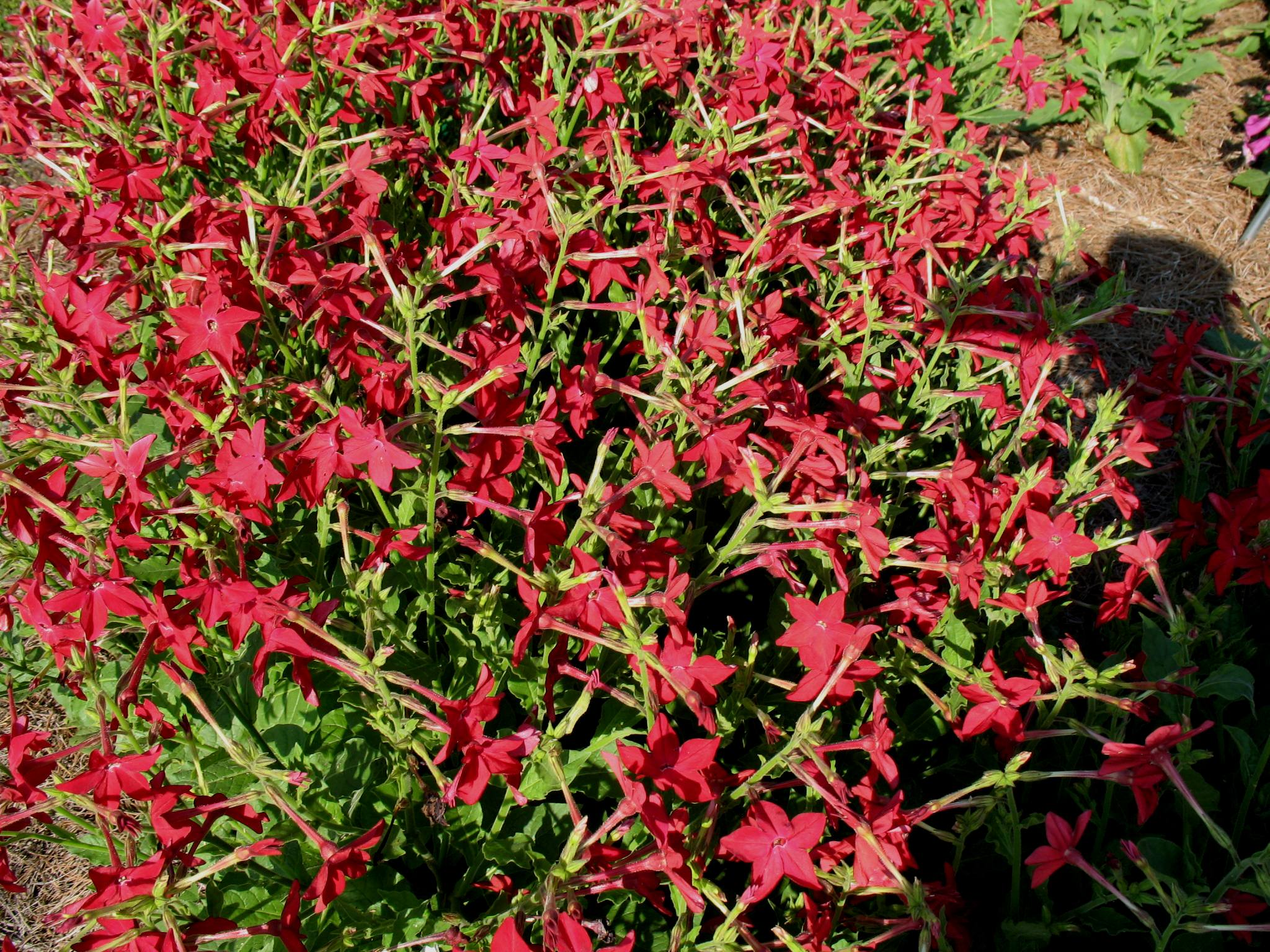 Nicotiana alata 'Nicki Red' / Nicotiana alata 'Nicki Red'